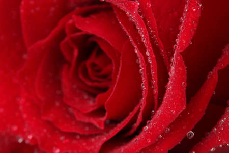 Beautiful red rose close up photo