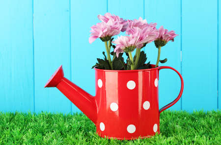 colorful chrysanthemums in red watering can with white polka dot on blue fence background photo