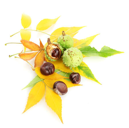Chestnuts with autumn dried leaves, isolated on white Stock Photo - 16216962