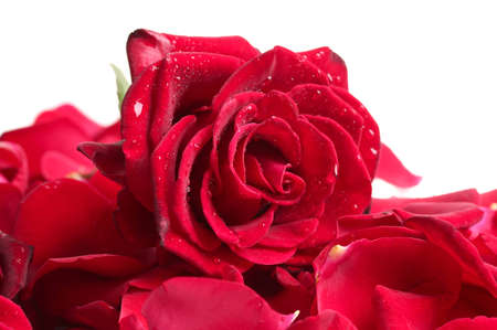 beautiful red rose and petals isolated on white Stock Photo - 16219594