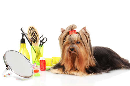 grooming dog: Beautiful yorkshire terrier with grooming items isolated on white Stock Photo