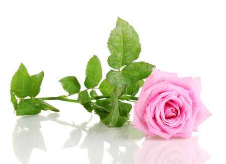 single rose: Beautiful pink rose isolated on white