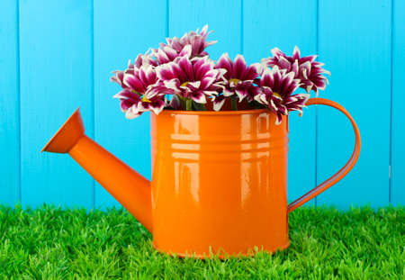 colorful chrysanthemums in orange watering can on blue fence background photo