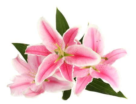 beautiful pink lily, isolated on white photo