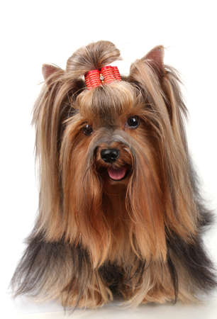 groomed: Beautiful yorkshire terrier isolated on white Stock Photo