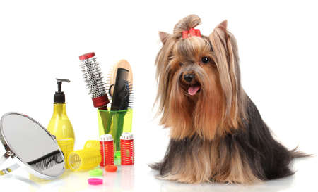 Hermosa yorkshire terrier con art�culos de aseo aislados en blanco photo