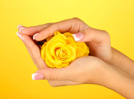 Yellow rose with womans hands on yellow background photo
