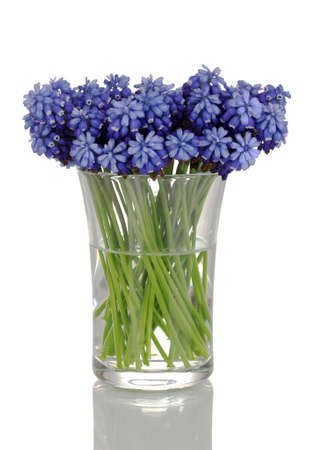 vase color: Muscari - hyacinth in glass isolated on white