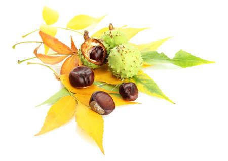 Chestnuts with autumn dried leaves, isolated on white Stock Photo - 16498639