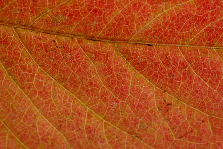 bright autumn leaf, close up photo
