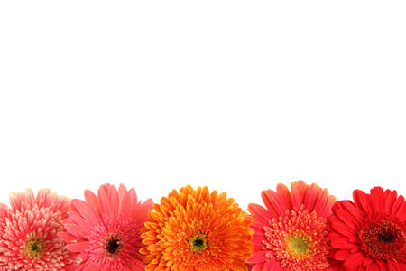 beautiful gerbera flowers isolated on white photo