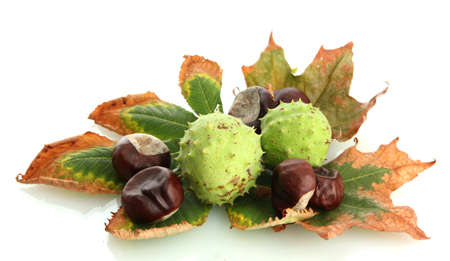 Chestnuts with autumn dried leaves, isolated on white Stock Photo - 16726297