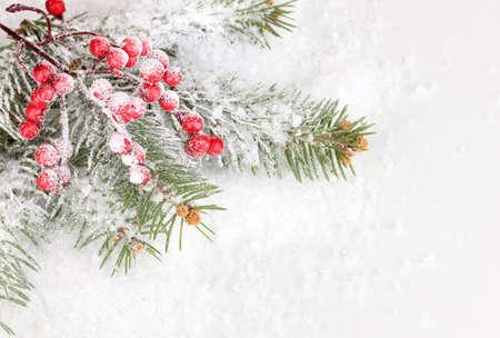 eberesche: Vogelbeeren mit Fichten mit Schnee bedeckt