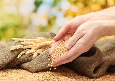 cultivo de trigo: las manos del hombre con el grano, sobre fondo verde