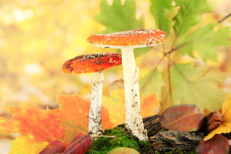 red amanitas with moss, on autumn yellow background photo