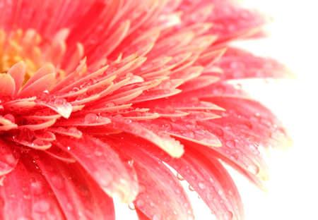beautiful gerbera flower isolated on white photo