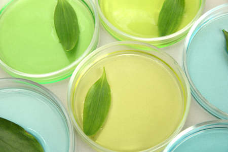 Genetically modified leaves tested in petri dishes, on grey background Stock Photo - 16939318