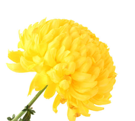 bright yellow chrysanthemum, isolated on white photo