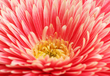 beautiful gerbera flower, close up photo