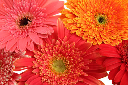 beautiful gerbera flowers, close up photo