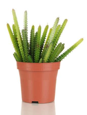 Cactuses isolated on white Stock Photo - 17037233