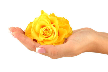 Yellow rose with womans hand on white background photo