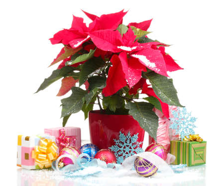 Beautiful poinsettia with christmas balls and presents isolated on white photo