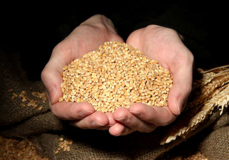 man hands with grain, on black background Stock Photo - 17064163