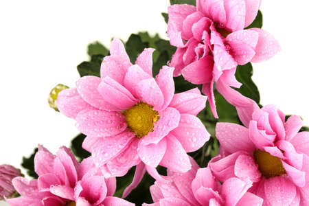 branch of beautiful pink chrysanthemums on white background close-up photo