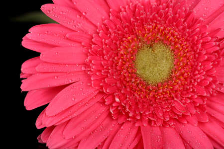 pink gerbera with drops isolated on black photo