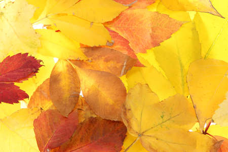 bright autumn leaves, close up photo