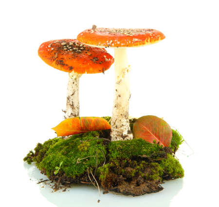 red amanitas with moss isolated on white photo