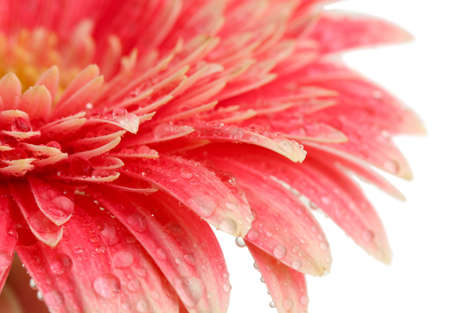 beautiful gerbera flower isolated on white Stock Photo - 17116779