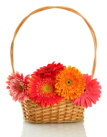 beautiful gerbera flowers in basket isolated on white photo