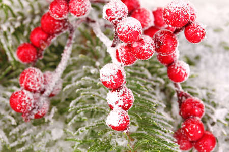 Rowan berries with spruce covered with snow photo