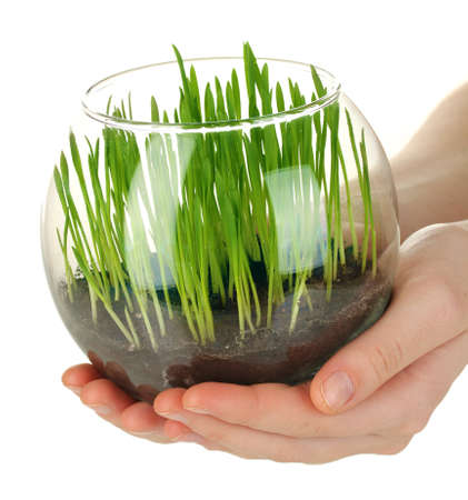 Hands holding glass vase with growing grass isolated on white photo