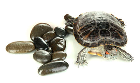 red ear turtle isolated on white Stock Photo - 17140324
