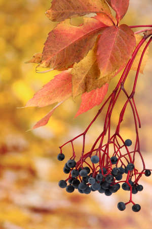 bright autumn leaves with wild grapes, on yellow background Stock Photo - 17144185