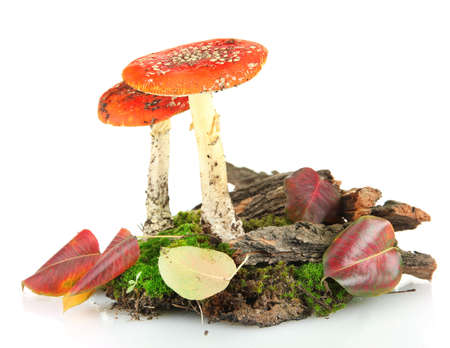 red amanitas with moss isolated on white Stock Photo - 17140909