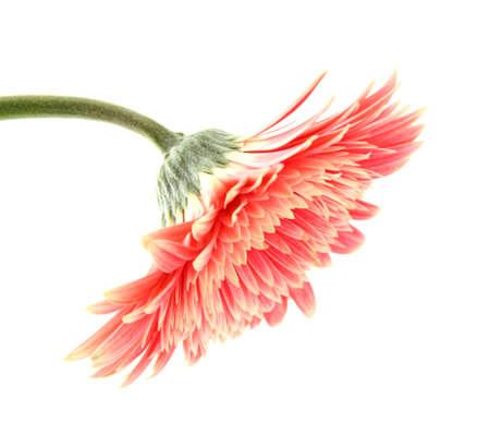 beautiful gerbera flower isolated on white Stock Photo - 17139635