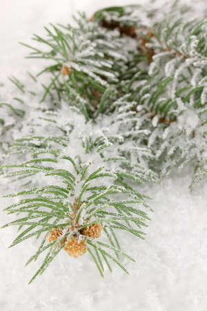 Spruce covered with snow photo