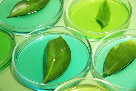 tested: Genetically modified leaves tested in petri dishes, on green background Stock Photo