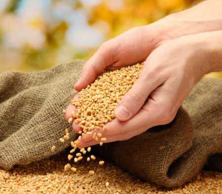 man hands with grain, on green background Stock Photo - 17209415