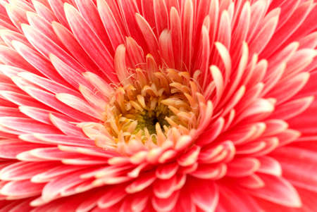 beautiful gerbera flower, close up Stock Photo - 17263927