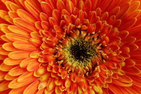 beautiful gerbera flower, close up Stock Photo - 17264116