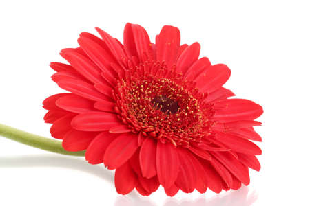 beautiful gerbera flower isolated on white Stock Photo - 17263506