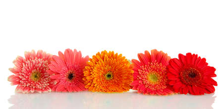 beautiful gerbera flowers isolated on white Stock Photo - 17263378