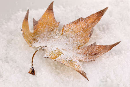 fallen leaf on snow photo