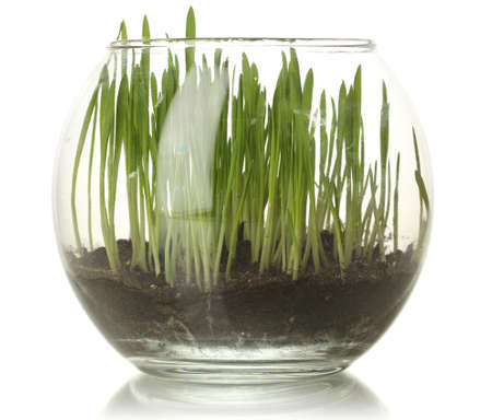 Grass in glass vase isolated on white photo