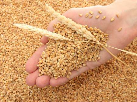 Wheat Harvest: man hand with grain, on wheat background
